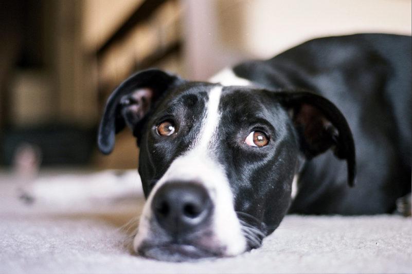 chien noir et blanc couché