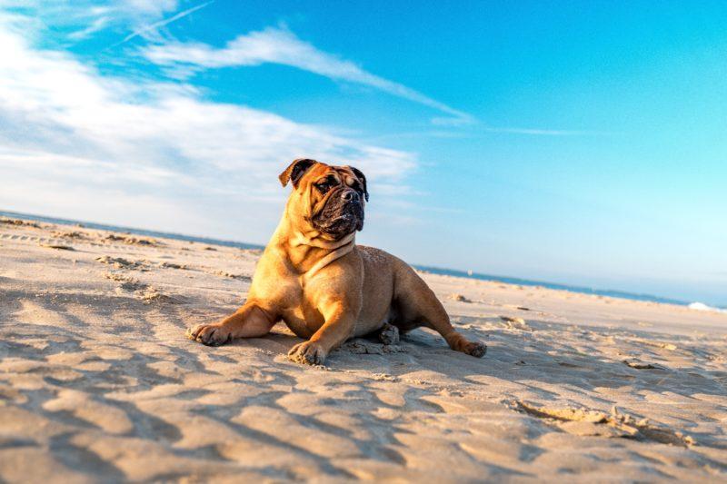 bulldog plage
