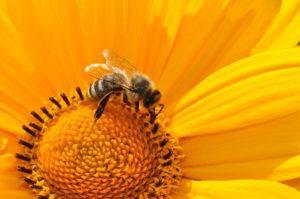 gros plan abeille