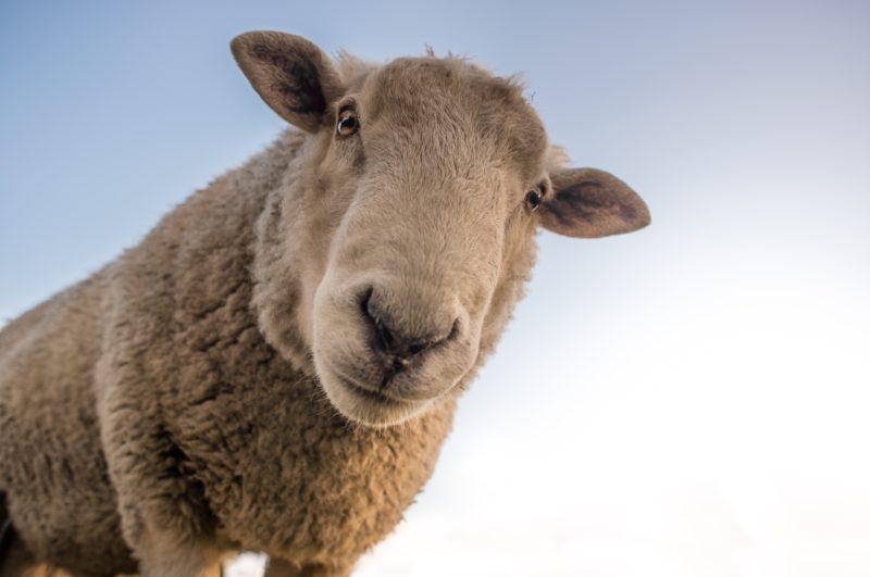 gros plan d'un mouton
